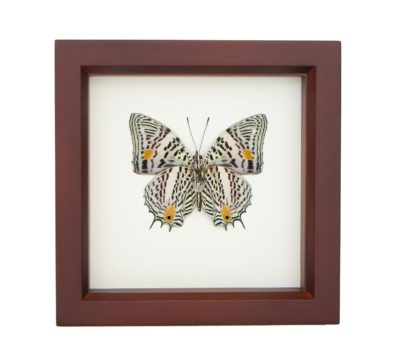 Framed Narrow Lined Butterfly (Baeotus species)