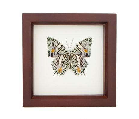 black white striped butterfly