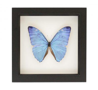 Framed Morpho Adonis Butterfly