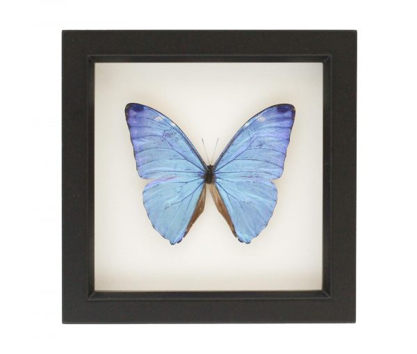 framed morpho adonis