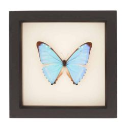 blue morpho butterfly art
