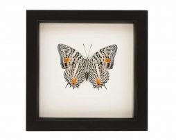 butterfly display case