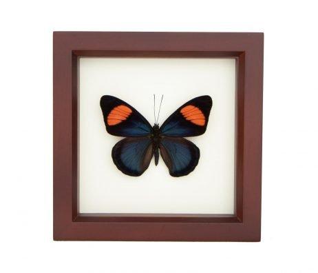 framed Batesia hypochlora