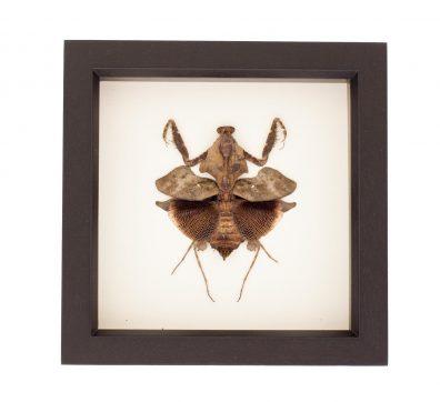 Framed Praying Mantis dead leaf mimic (Deroplatys lobata)