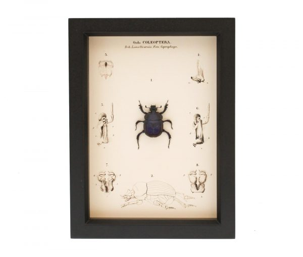 framed scarab beetle for sale