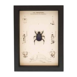 framed scarab beetle for sale