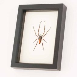 framed spider taxidermy