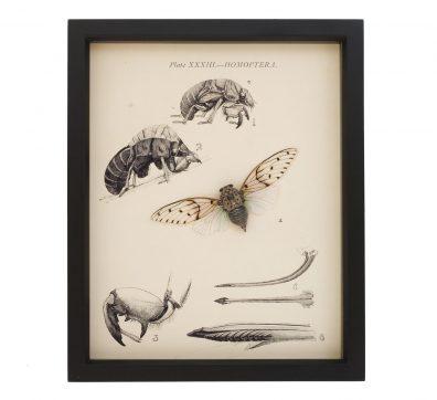 Cicada & Nymph Natural History Display