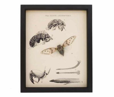 real cicada taxidermy display