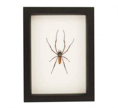 Framed Orb Weaver Spider (Nephilia species)