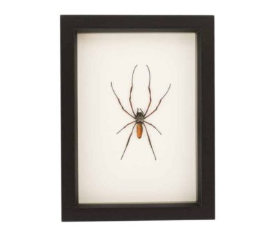framed spider display