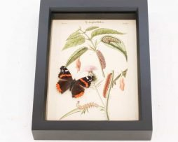 real butterflies in glass for sale