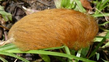 trumps hair caterpillar