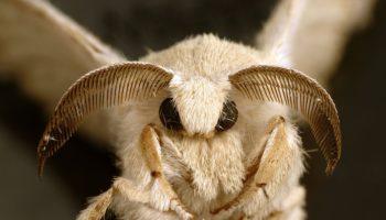 silkworm-moth