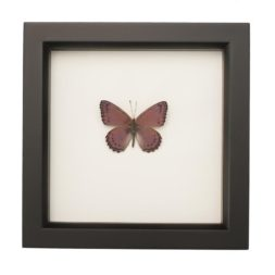 butterflies in glass for sale