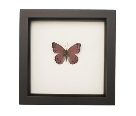 butterflies in glass for sale