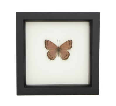 Framed Meadow Wanderer Butterfly (ASTEROPE PECHUELI)