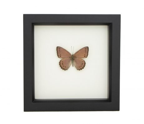 framed purple African butterfly