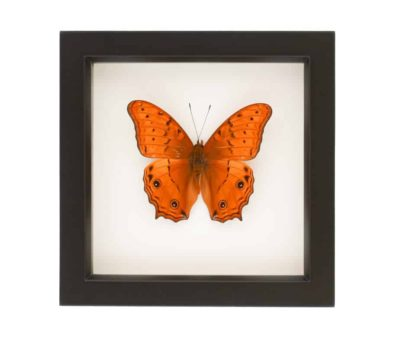 vindula arsinoe framed