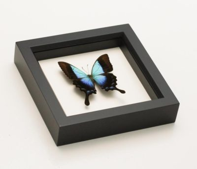 framed Papilio pericles
