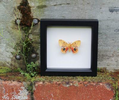 framed io moth