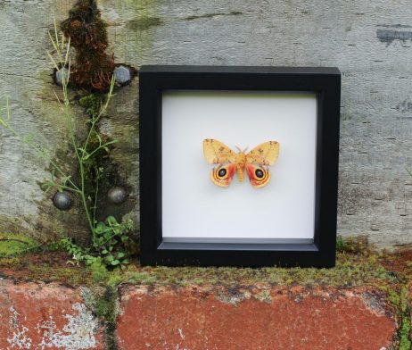 io moth shadowbox