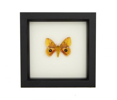 io moth taxidermy