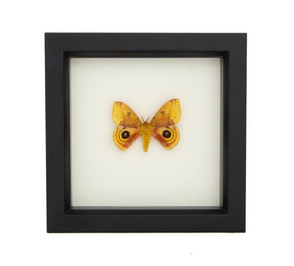 io moth taxidermy