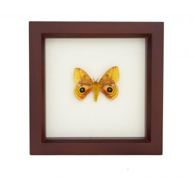 Framed Io Moth (Automeris io)