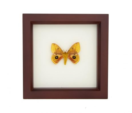 framed io moth walnut frame