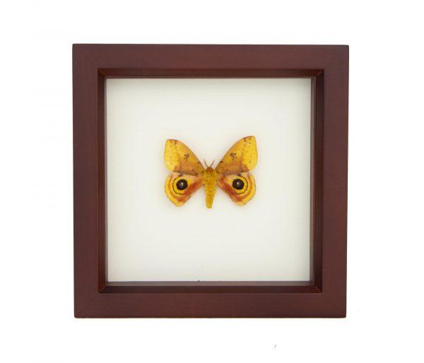 framed io moth walnut frame