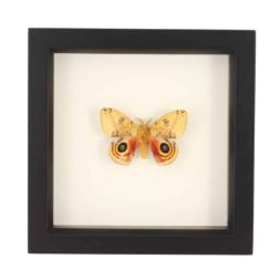 framed moths for sale