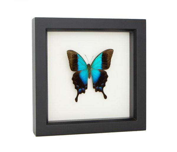 Papilio pericles specimen