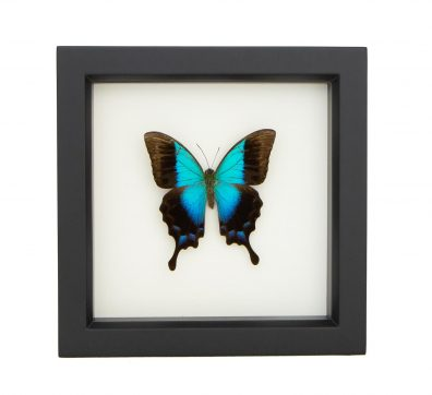 Framed Gloss Swallowtail (Papilio pericles)