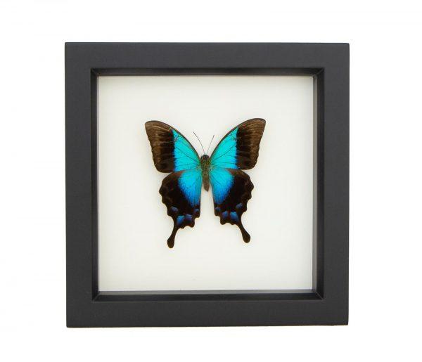 framed gloss swallowtail