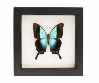 mounted butterfly specimens