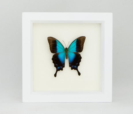 preserved papilio pericles