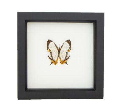 Framed Map Butterfly (Cyrestis species)
