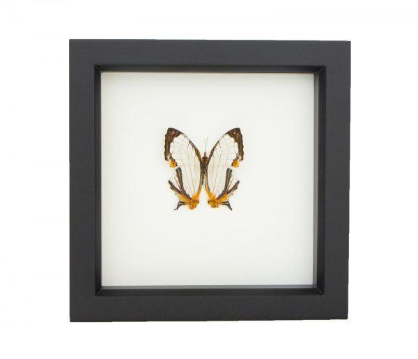 framed map butterfly