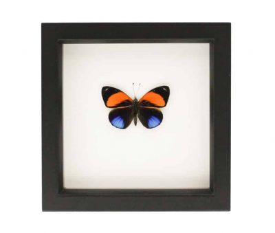 real butterfly framed wall art