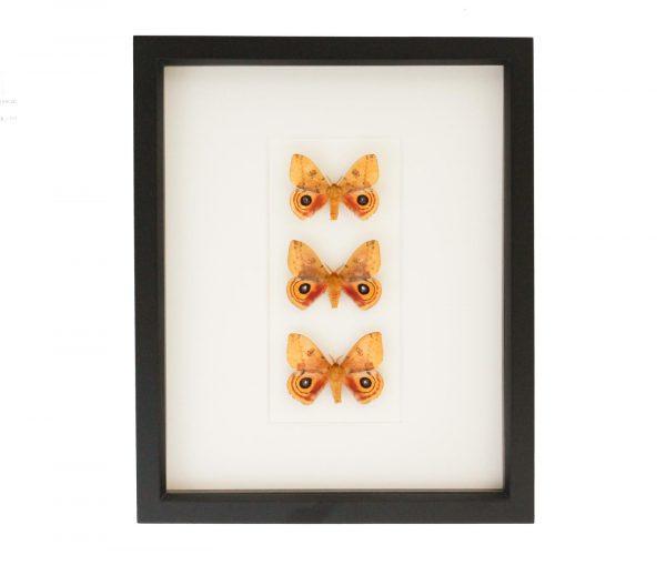 io moth collection