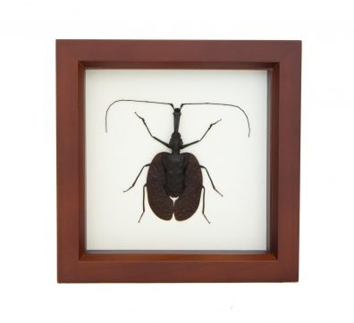 Framed Violin Beetle (Mormolyce phyllodes)