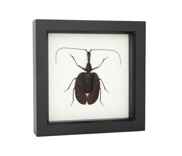 framed guitar beetle
