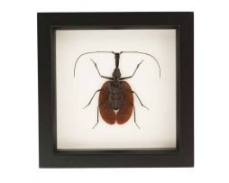 framed violin beetle