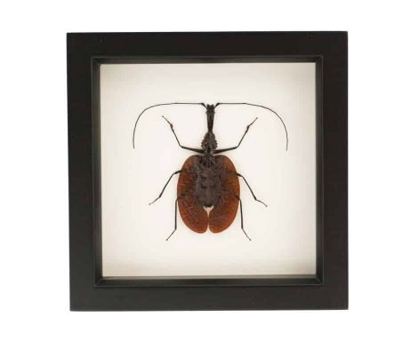 framed violin beetle