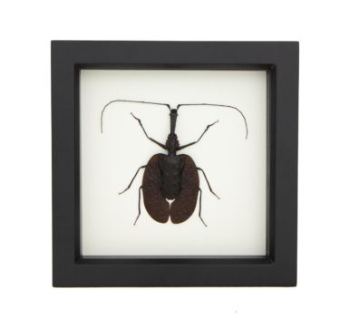 framed-violin-beetle-display