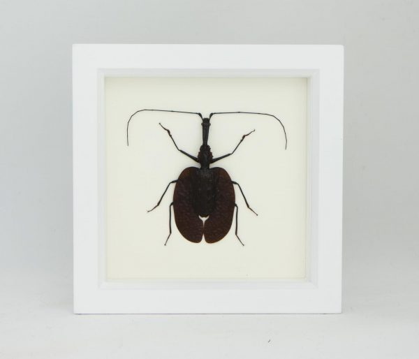 violin beetle taxidermy