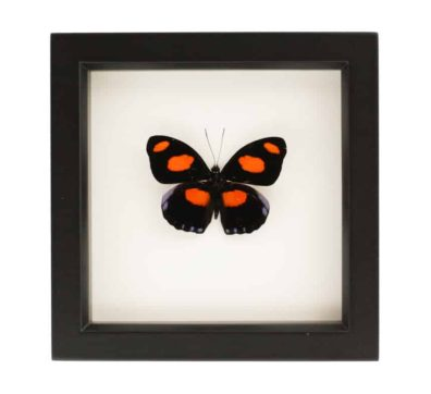 Framed Stoplight Catone Butterfly