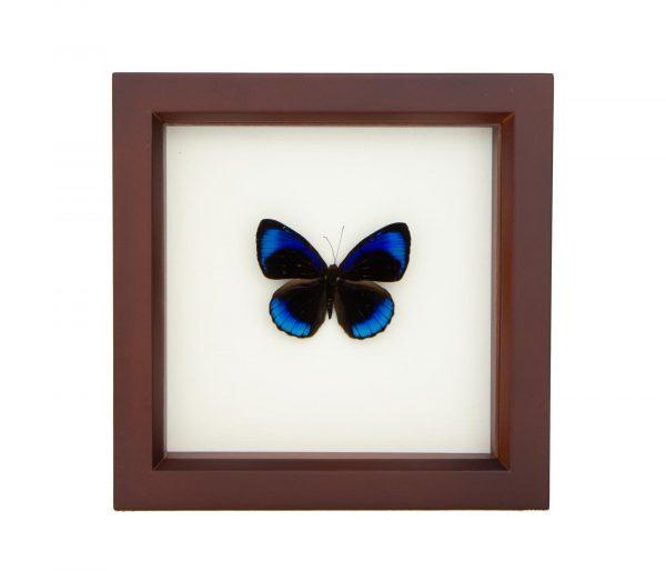 framed eunica alcmena