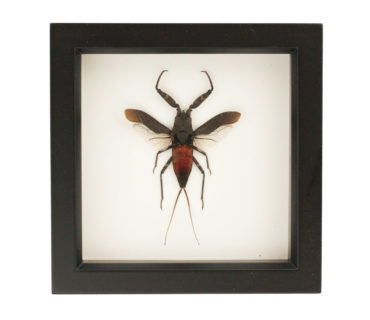 insect taxidermy